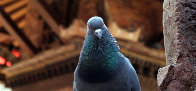 Heres looking at you - pigeons can recognise humans by face