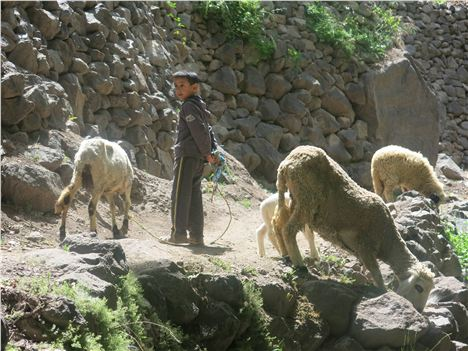 Berber Boy Leads The Sheep To Pasture